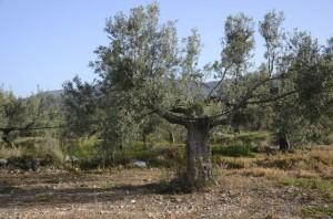 Eine der ältesten Kulturpflanzen