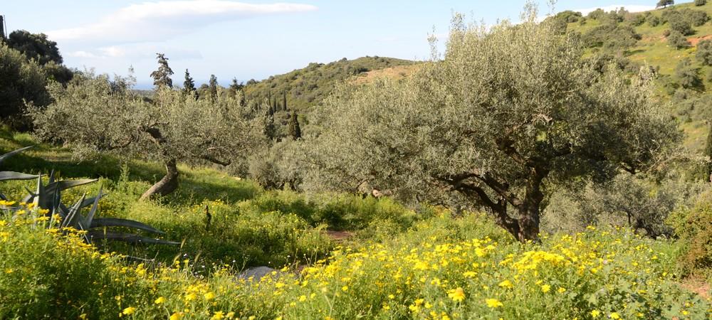 Olivenbäume in der Blüte