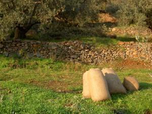 Olivensäcke kurz vor der Abholung