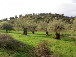 Die Lakudia Olivenhaine sorgen für eine unvergleichliche Qualität
