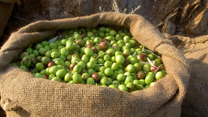 Frisch gerntete Olivenöl aus unseren Olivenhainen