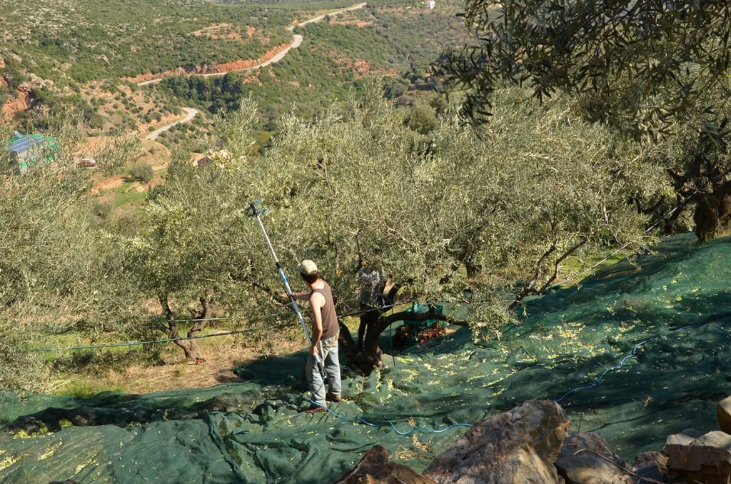 Bild Olivenernte