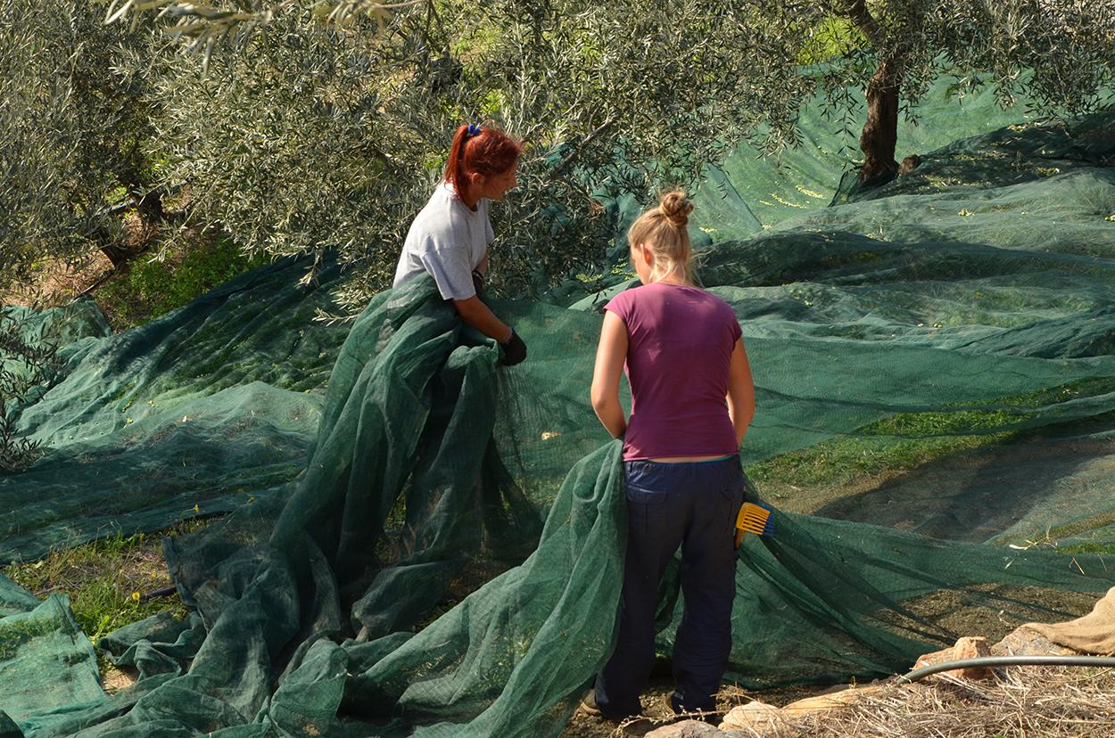 NEUE ERNTE Oktob. 2015 grünes Ölivenöl Nativ Extra